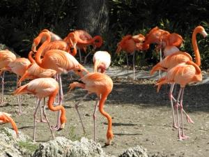 Flamingos at Miami Zoo