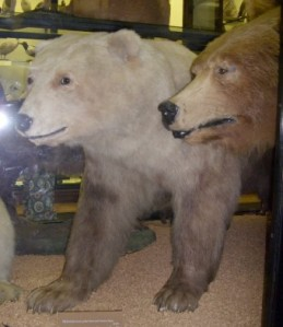Polar/Brown Bear adult hybrid. Rothschild Museum, Tring, England.