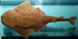 The angel shark's shape shows that rays and sharks are related.