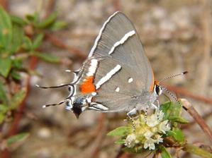 This endangered Bartram's scrub-hairstreak butterfly depends on Pine Rocklands to survive. (USFWS)